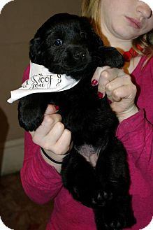 Labrador Retriever Mix Puppy for Sale in Huntsville, Alabama - Topaz