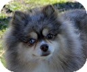 Pomeranian Dog for adption in Tinton Falls, New Jersey - Mocha