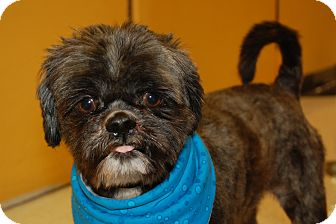 Shih Tzu Mix Dog for Sale in London, Kentucky - Jax
