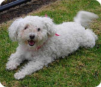 Bichon Frise Dog for Sale in El Cajon, California - Susie