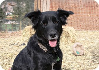 Looking for a Flat-Coated Retriever/Border Collie dog in Merritt for