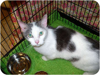 Domestic Shorthair Cat for adoption in Colmar, Pennsylvania - Brady