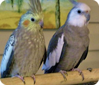 Cockatiel for Sale in Tampa, Florida - Nickel & Sterling