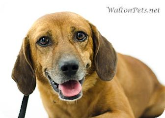 Hound (Unknown Type) Mix Dog for Sale in West Bridgewater, Massachusetts - Milton