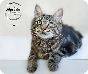Domestic Mediumhair Cat for adoption in Phoenix, Arizona - Leo