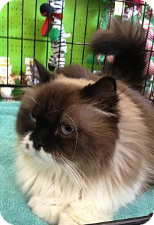 Himalayan Cat for Sale in Beverly Hills, California - Maryland