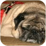Pug Dog for adption in Windermere, Florida - Buddy Jr