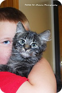 Domestic Mediumhair Kitten for Sale in Lincoln, Nebraska - Jupiter