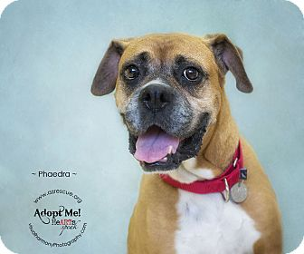 Boxer Dog for adption in Phoenix, Arizona - Phaedra