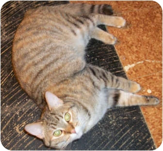 Domestic Shorthair Cat for adoption in Jamestown, Ohio - SWEET PEA