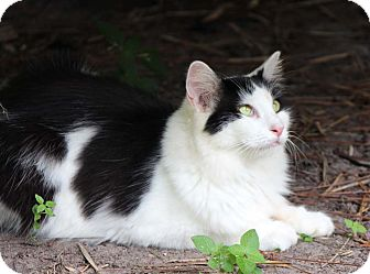 Domestic Mediumhair Cat for Sale in Naples, Florida - Elizabeth Taylor