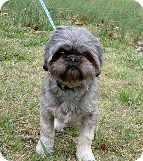 Shih Tzu/Brussels Griffon Mix Puppy for Sale in Glastonbury, Connecticut - Cabby~adopted~