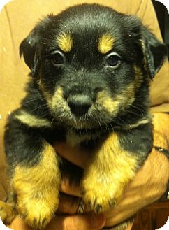 Shepherd (Unknown Type) Mix Puppy for Sale in Russellville, Kentucky - Pipsqueak