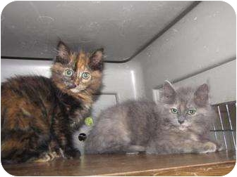 Domestic Mediumhair Kitten for adoption in Roseville, Minnesota - Panzi and Peni