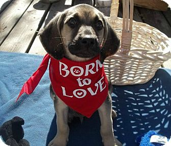 Hound (Unknown Type) Mix Puppy for Sale in Conway, Arkansas - Astro - Born To Love