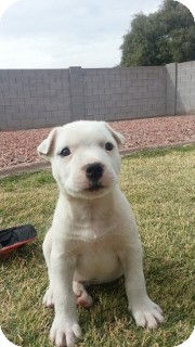 American Pit Bull Terrier/Boxer Mix Puppy for Sale in Phoenix, Arizona - Snow - Only $95 adoption!