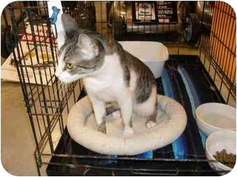 Domestic Shorthair Cat for adoption in Jacksonville, Florida - Taylor
