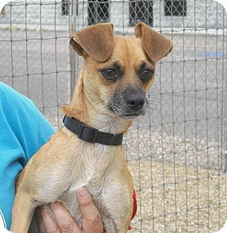 Chihuahua Mix Dog for adption in Wickenburg, Arizona - Tiny