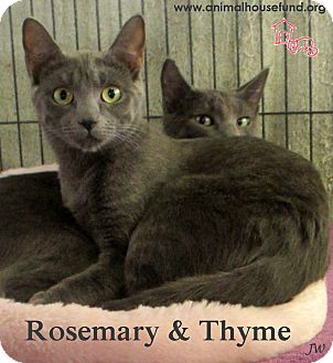 Domestic Shorthair Cat for adoption in St Louis, Missouri - Rosemary and Thyme