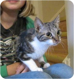 Domestic Shorthair Cat for adoption in Mississauga, Ontario, Ontario - Hester