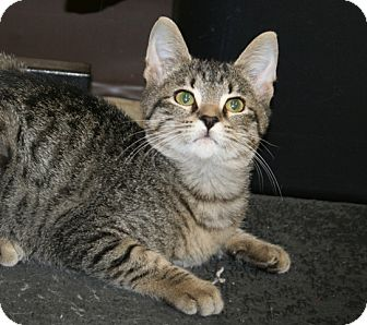 American Shorthair Cat for Sale in Allentown, Pennsylvania - Brockie
