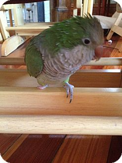 Parakeet - Quaker for Sale in Tampa, Florida - Max
