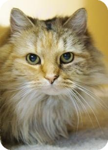 Domestic Longhair Cat for Sale in Medford, Massachusetts - Bells