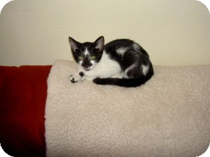 Domestic Shorthair Kitten for Sale in Gilbert, Arizona - Jersey