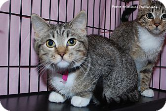 Domestic Shorthair Kitten for Sale in Lincoln, Nebraska - Suzette