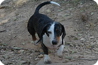 Dachshund Dog for Sale in san antonio, Texas - Freebie
