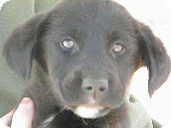 Border Collie Mix Puppy for adption in Anywhere, Connecticut - Aimee adoption fee reduced