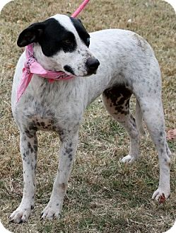 Pointer Mix Dog for adption in Flower Mound, Texas - Blue