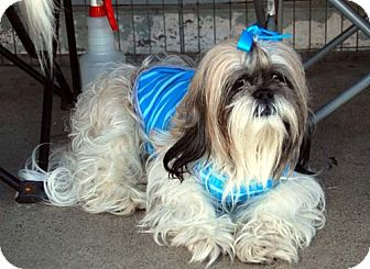 Lhasa Apso Dog for adption in Los Angeles, California - FANTASIA