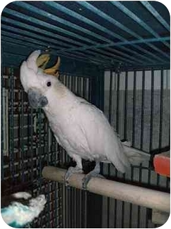 Cockatoo for adoption in Creston, Illinois - Sydney