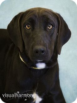Labrador Retriever Puppy for Sale in Phoenix, Arizona - Kelsey