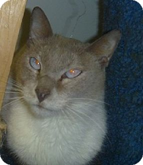 Siamese Cat for adoption in Hamburg, New York - Toby Keith