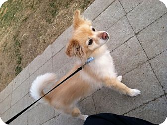 Pomeranian Mix Dog for Sale in Meridian, Idaho - Soldier