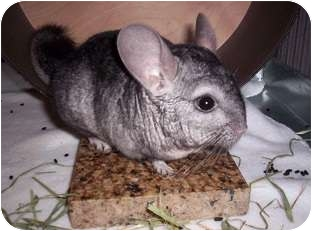 Chinchilla for Sale in Avondale, Louisiana - Diego