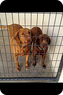 Labrador Retriever Dog for Sale in Nashville, Tennessee - Candie & Diamond