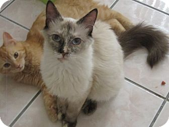 Siamese Cat for Sale in Los Angeles, California - Calisa