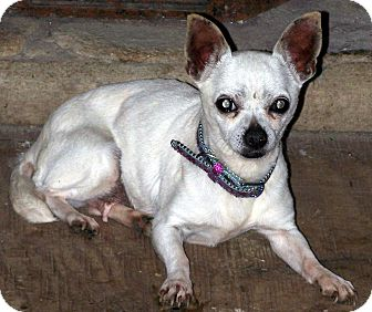Chihuahua Dog for Sale in Sussex, New Jersey - Precious REDUCED ADOPT FEE