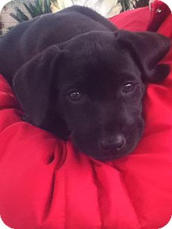Labrador Retriever Mix Puppy for Sale in Torrance, California - CHASE