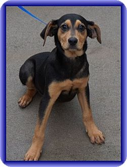 Black and Tan Coonhound/Hound (Unknown Type) Mix Puppy for Sale in Windham, New Hampshire - Trevor (In New England)