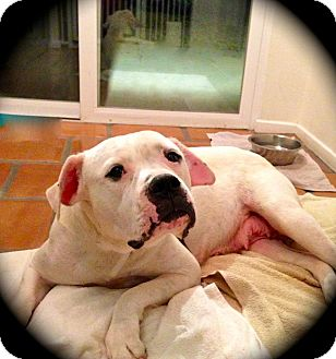 American Bulldog Dog for Sale in Seattle, Washington - Jenni - Sweet Bulldog