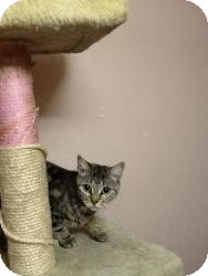 Domestic Shorthair Kitten for adoption in Belleville, New Jersey - Hazel