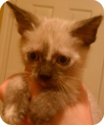 Ragdoll Kitten for Sale in Ennis, Texas - Dara