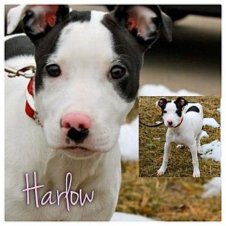 Bull Terrier/Border Collie Mix Puppy for Sale in Westland, Michigan - Harlow