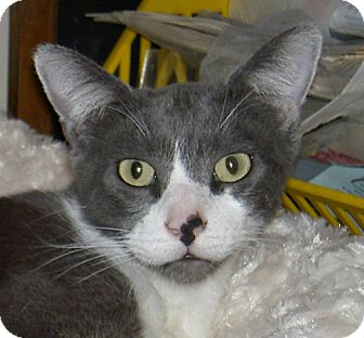 Domestic Shorthair Cat for adoption in Ranch Palos Verdes, California - Martin
