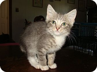 Domestic Shorthair Kitten for Sale in Spotsylvania, Virginia - Guinness