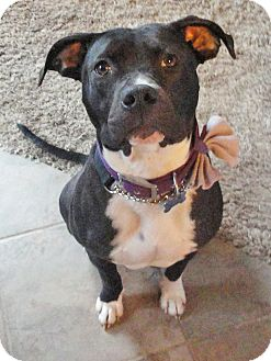 American Staffordshire Terrier Mix Dog for adption in Detroit, Michigan - Meg